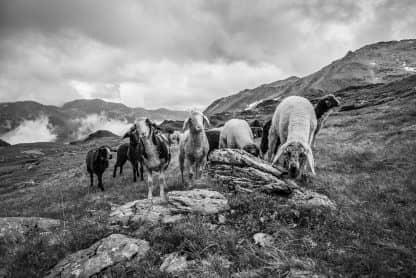 Schafe Rotwandalm von Kurt Tropper